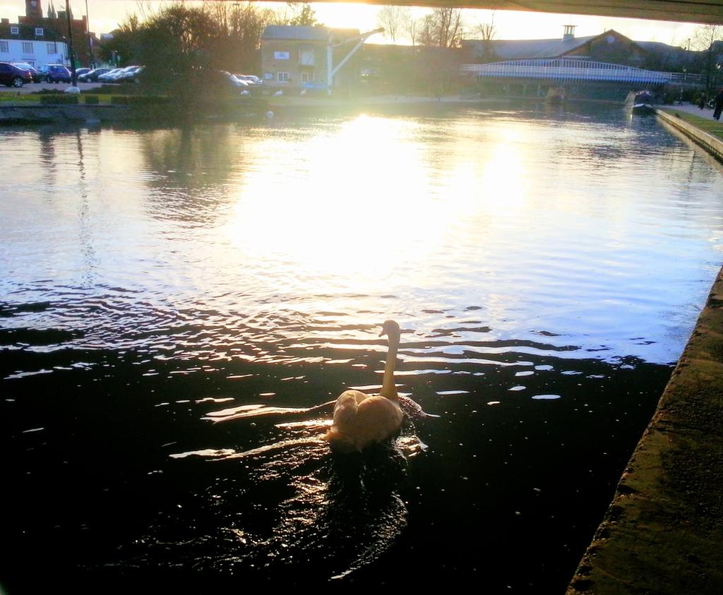 swan newbury1